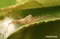 My own spot (hassanteyz) Tags: plant macro male spider tiny critters maldives crawlers poormansmacro hulhumale macromarvels flickrflorescloseupmacros smallcreatureswilllovethisplace hassanteyz hassanthalhath