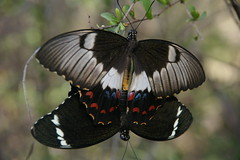 (sophberry) Tags: nature animal animals butterfly insect australia queensland mating