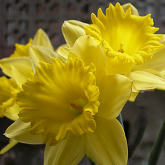 """Daffodils • <a style=""""font-size:0.8em;"""" href=""""http://www.flickr.com/photos/117692149@N03/12579863574/"""" target=""""_blank"""">View on Flickr</a>"""