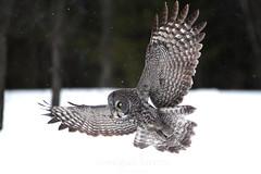 Great Gray Ghost (Megan Lorenz) Tags: winter wild snow ontario canada bird nature wildlife ottawa owl greatgrayowl avian birdofprey ggo mlorenz meganlorenz