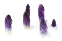 Crocus tommasianus (Eric Hunt.) Tags: winter flower ice purple magenta crocus sleet iridaceae corm geophyte crocustommasianus