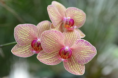 Orchid (twhrider) Tags: orchid flower bigmomma thechallengefactory nikond7000