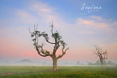 SAUJANA (alzikr) Tags: field sunrise landscape village paddy malaysia terengganu saujana manir