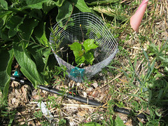 Newly planted tree with comfrey and drip_4596939080_l