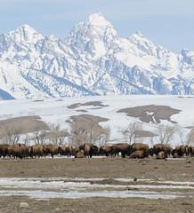 Sunday Morning in Spring (USFWS Mountain Prairie) Tags: mountains nature outdoors scenery wyoming teton tetons bison usfws nationalwildliferefuge usfishandwildlifeservice nationalelkrefuge wyomingwildlife bisonbuffalo nationalwildliferefugesystem