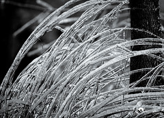 Winter Grass #2 (Andy_M1981) Tags: christmas bw snow cold ice frozen wind documentary freezing ef50f14 2013 eos1dmarkiii canon1dmarkiii wwwunendinghorizonca