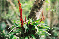 Vriesia incurvata (?) (Techuser) Tags: parque red plant flower tree green film nature forest 35mm rainforest atlantic da bromeliaceae mata vegetal atlantica ona parda