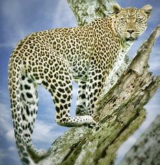 Leopard in tree - Tanzania (JimBoots) Tags: