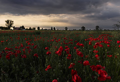Il mese dei papaveri (Ale*66*) Tags: sunset red sky italy green field clouds canon landscape horizon poppies pianurapadana 70d