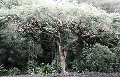Hawaiian Tree (marydenise6) Tags: vacation holiday tree garden geotagged botanical island hawaii oahu northshore hawaiian banyan