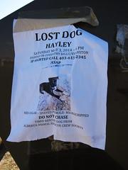 Lost Dog Hayley (pokoroto) Tags: summer dog canada calgary poster lost may alberta hayley satsuki 2014 5    gogatsu   fastmonth 26