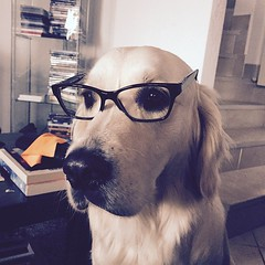 Smart dog (Hic et Nunc Photography) Tags: dog holiday cute home goldenretriever square photography reading glasses weird eyes gorgeous squareformat professor burberry mylove picoftheday thingsilove intellettuale youmakemesmile iphoneography iphone6 instagramapp uploaded:by=instagram