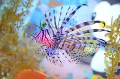 Lionfish, Pterois volitans - Sydney Aquarium (avlxyz) Tags: aquarium sydney australia sydneyaquarium fb5