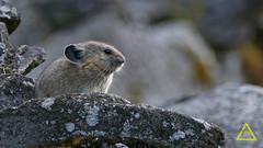Juvenile Pika Montana (jerefolgert) Tags: young pika juvenile bigears cute talus rock baby coney rabbit lichen evening wildlife wilderness