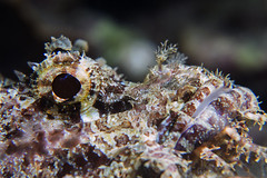 Color killer (Scorpaenopsis sp.) (Arne Kuilman) Tags: philippines filipijnen holiday vakantie asia olympus em10 scorpionfish anilao basura scorpaenopsissp