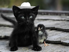 Good Guys Wear White.... (cowgirlrightup) Tags: weasel kitten cowboyhat cowgirlrightup chick youvegotafriendinme