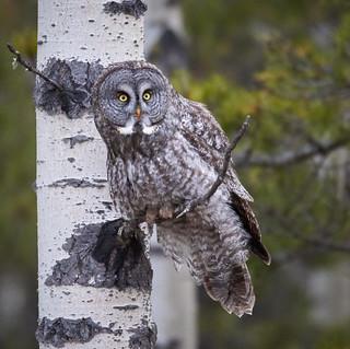 Great Grey Owl_6