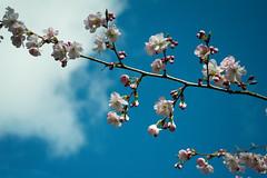 20170321-02_Top Green - Coventry - Flowering Cherry Tree (gary.hadden) Tags: topgreen coventry floweringcherry tree kenilworthroad earlsdon memorialtree blossom bloom flower pink delicate buds springflowers spring