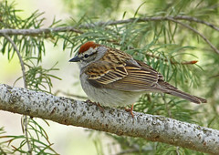 Chipping Sparrow (ebirdman) Tags: chippingsparrow chipping sparrow spizellapasserina spizella passerina