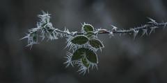frozen nature 6527 (s.alt) Tags: nature natureunveiled frost winter ice rauhreif cold kalt morgen eiskristall kristallförmig vereist niederschlag hoarfrost whitefrost rime frostyrime frozen detail icecrystal frozennature macro blatt frosted