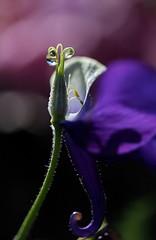 Qui suis-je ? (Callie-02) Tags: violet extérieur jardin canon profondeurdechamp fleur gouttes drops