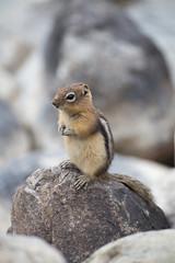 IMG_9259 (Becky Prest) Tags: alberta canada goldenmantledgroundsquirrel livingroomgallery location mammals northamerica rockies wildlife