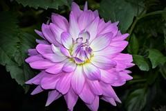DSC_0154 - Dahlia (jangurney) Tags: dahlia purple mauve macro d5500 nikon