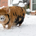 Kune Kune Pigs in the Snow-5