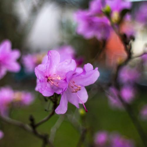 Day nine, Rhododendron x praecox, Vorfrühlings-Alpenrose