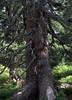 03-IMG_8408 (hemingwayfoto) Tags: österreich austria baum europa fichte hohetauern nationalpark natur naturschutzgebiet rauris rauriserurwald reise tannenbaum urwald wald