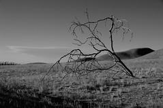"""Life Is Hard"" (nedlugr) Tags: california ca carrizoplain carrizoplainnationalmonument sanluisobispocounty bw blackandwhite tree hills fence fences drygrass dry ruralwest rural shadows usa"