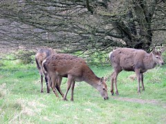 Red deer (deannewildsmith) Tags: earthnaturelife staffordshire deer animal reddeer chasewater cannockchase