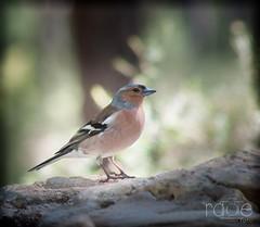 PINZÓN   COMÚN   MACHO.                                                                      (Fringilla Coelebs) (ROGE gonzalez ALIAGA) Tags: naturaleza pajaro birds nikond5000 70300mm
