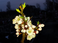 20170321_182445 (Tommy- N) Tags: natur blüten blumen frühling pfirsich