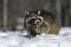 Raton laveur / Raccoon (Roy Yves) Tags: ratonlaveur yvesroy raccoon racoon