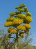 Agave (avellanidens) (wplynn) Tags: agave avellanidens centuryplant arizonasonoradesertmuseum tucson arizona desertmuseum plant succulent blooms blossom flower flowering flowers