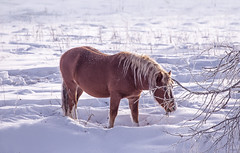 One brown Horse stay in the snowy woods in winter (♥Oxygen♥) Tags: winter snow horse white animal field active outside freedom beautiful nature outdoor forest mist meadow mammal wood croup standing pasture color cold farm ranch frost trees hills pride ice countryside rural glazed proud altay fog relax village altai russia snowy frozen landscape calm wild travel freeze season environment fairytale lonely