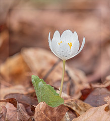 Wild Flower (glenda.suebee) Tags: wild flowers white ohio spring 2017 dewdrops drops glendaborchelt bloodroot explore