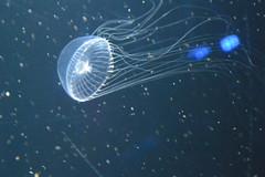 Jelly Fish (rina.spezza) Tags: summer2013