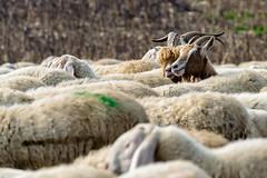 Becchi. (giancarlino49) Tags: cormorani gregge nicole cagnolini folaghe gatto pastore pecore pontile