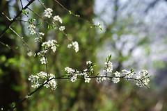 Les arbres en fleurs (mamietherese1) Tags: earthmarvels50earthfaves phvalue