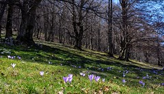 Primavera appenninica (mountain spring) (giorgiorodano46) Tags: marzo2017 march 2017 giorgiorodano nikon abruzzo italy montisimbruini pereto primavera spring appennino apennines faggi leaves crochi