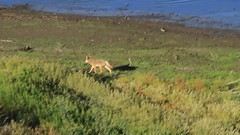 Coyote Morning Scolding (Beth Sargent) Tags: california coyote morning nature water video clip bark habitat encounter howl