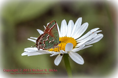 Olive Hairstreak Butterfly on a Daisy - Bryant Grove Trail (mikerhicks) Tags: butterfly geotagged unitedstates hiking tennessee wildlife daisy hermitage flowersplants olivehairstreak couchville camera:make=canon exif:make=canon sigma18200mmf3563osdc canon7d geo:state=tennessee nashvillehikingmeetup exif:iso_speed=640 exif:focal_length=134mm geo:countrys=unitedstates camera:model=canoneos7d exif:model=canoneos7d exif:lens=18200mm exif:aperture=10 geo:city=hermitage geo:lon=8653922 geo:lat=36086355 geo:lat=3608635537 geo:lon=8653922081