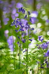 Daydream In Blue (Mick Holt) Tags: flowers blue green nature bluebells woodland spring pentax bokeh