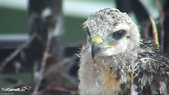 nestling bad hair day (Cornell Lab of Ornithology) Tags: bird nest cams cornell redtailedhawk nestlings labofornithology cornelllabofornithology
