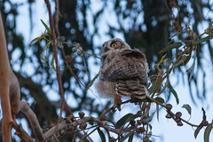 Owlet 5-24-13 (DeniseDewirePhotography) Tags: tree night branch ventura greathornedowl eucalyptustree olivasadobe olwlet
