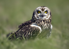 SEO-b_4639 (Peter Warne-Epping Forest) Tags: bird ngc npc owl birdofprey asio shortearedowl britishwildlifecentre flammeus