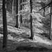 Bøgeskov i sort og hvid