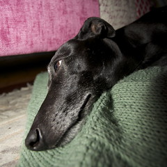 Thoughtful (GailShamezaRajgor (Rage With A Smile Photography)) Tags: dog pet pets cute love dogs canon whippet blackdog sleepy sleepydog canoneos lurcher sleepingdog dogtired canoneos5d bedlington whippetbedlington whippetcross canoneos5dmarkii canon5dmkii canoneos5dmkii